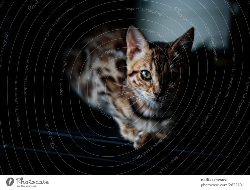 bengal Katze Tier Haustier 1 beobachten Erholung liegen Blick warten dunkel frech Neugier niedlich schön weich braun schwarz Zufriedenheit selbstbewußt Coolness