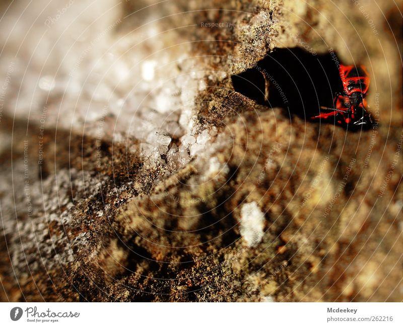 Sicheres Versteck Umwelt Natur Park Tier Wildtier Käfer Feuerwanze 3 Tiergruppe natürlich Neugier braun grau rot schwarz weiß Stein Kristalle Höhle Loch dunkel