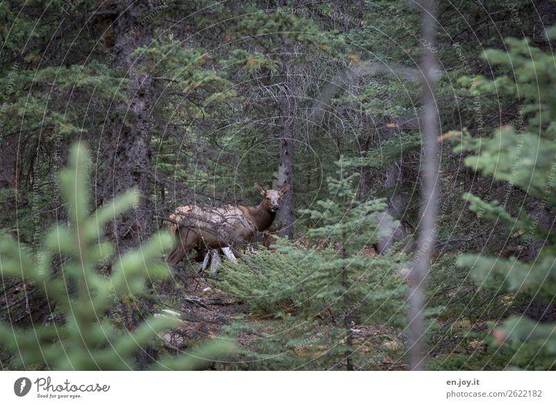 bin versteckt Ferien & Urlaub & Reisen Ausflug Safari Expedition Umwelt Natur Landschaft Wald Tier Wildtier Reh Rothirsch 1 beobachten grün Vertrauen Sicherheit