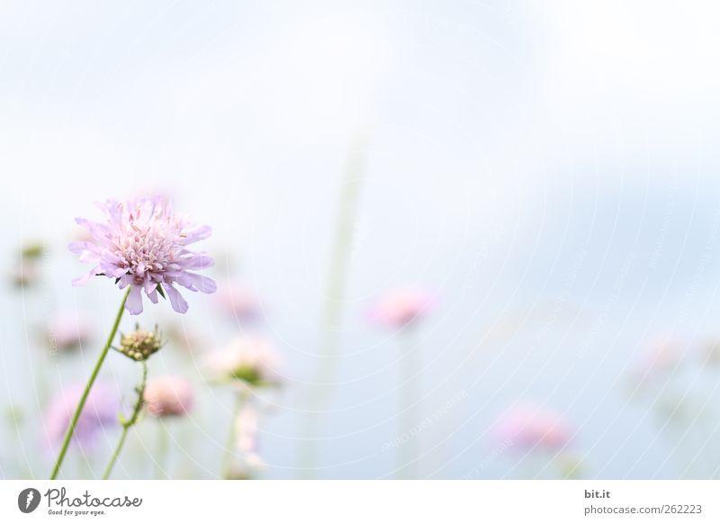 Frühlingsbote... Himmel Pflanze Sommer Blume Erholung ruhig Blüte Wiese hell rosa Geburtstag Blühend Lebensfreude Hochzeit zart