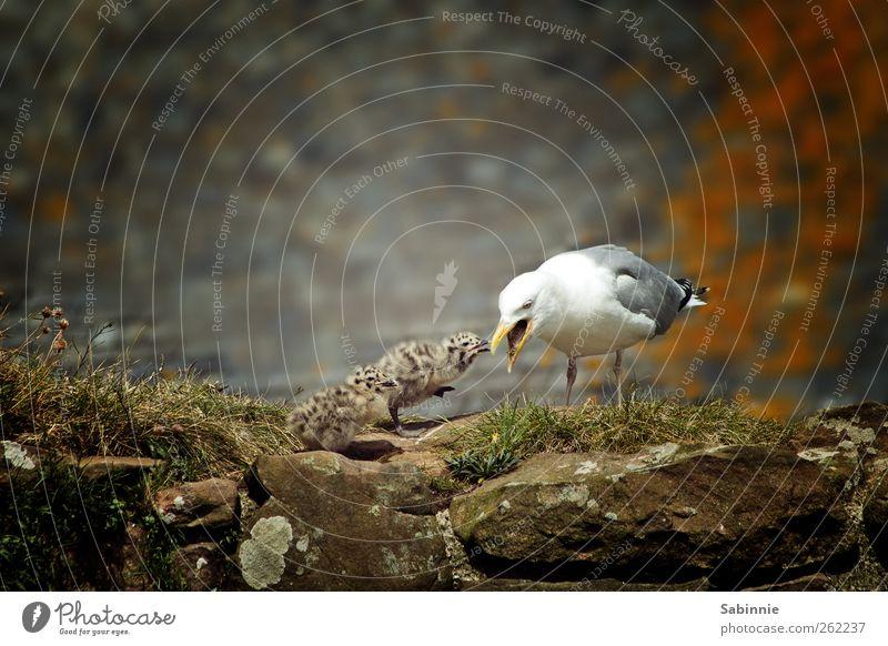 Fütterung der Wilden Natur Tier Wildtier Vogel Möwe Küken Schnabel füttern klein Tiergruppe Tierjunges Tierfamilie niedlich wild braun grau weiß Farbfoto