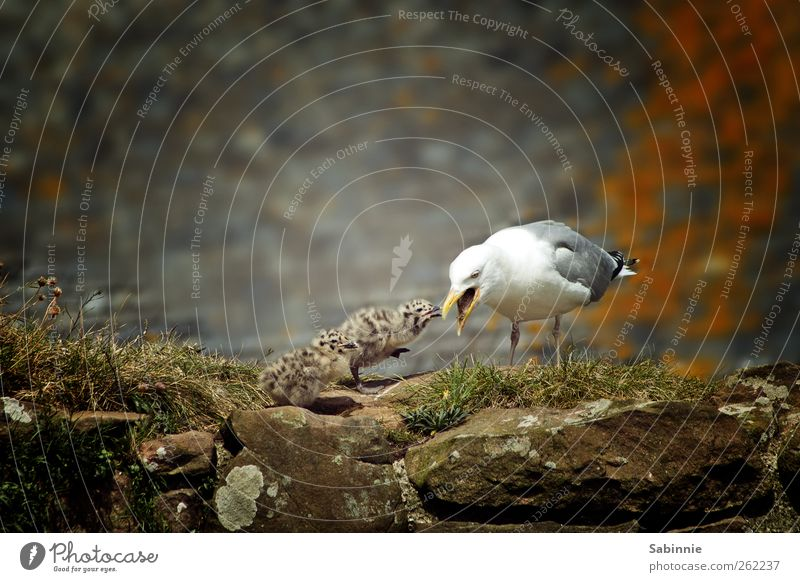 Fütterung der Wilden Natur weiß Tier grau klein Tierjunges braun Vogel Wildtier wild Tiergruppe niedlich Möwe Fressen Schnabel füttern