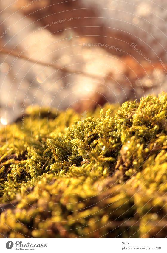 ohne Moos nix los Natur Pflanze Schönes Wetter Grünpflanze frisch schön gelb gold grün Farbfoto mehrfarbig Außenaufnahme Nahaufnahme Detailaufnahme Menschenleer