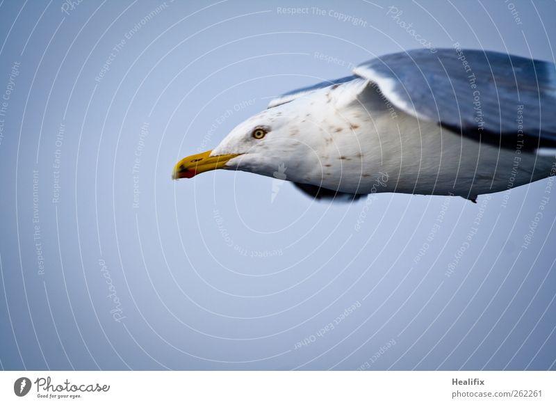 Möwe Himmel Tier Wildtier Vogel Tiergesicht Flügel 1 fliegen füttern ästhetisch dünn blau weiß Willensstärke Entschlossenheit Freiheit Umwelt Ferne Schnabel