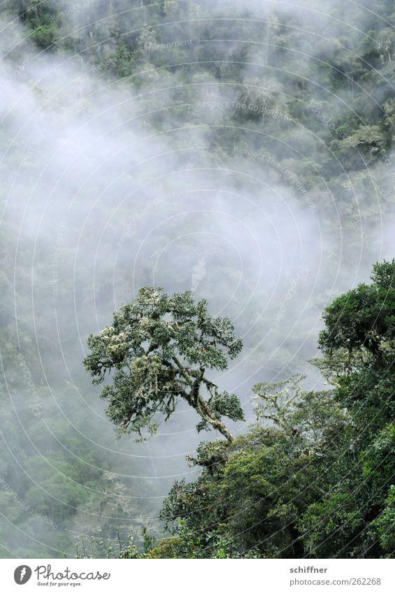 Baumloben... Umwelt Natur Landschaft Pflanze Wolken Grünpflanze exotisch Wald Urwald Berge u. Gebirge grün Nebelwald Unterholz Baumkrone Nebelstimmung