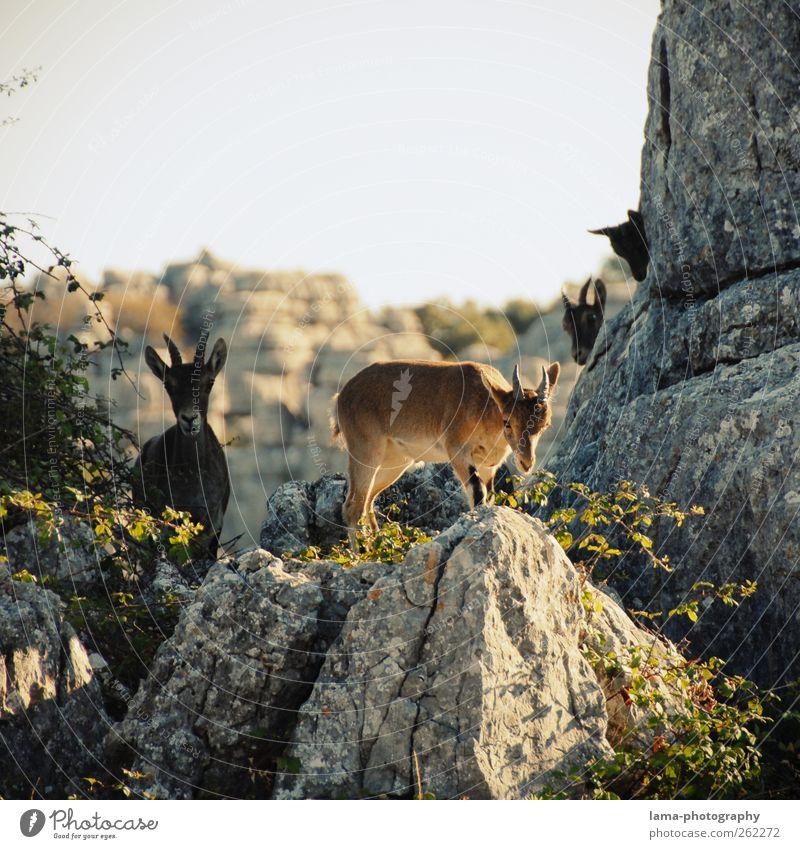 Los cabritillos [XX] Natur Tier Berge u. Gebirge Felsen wild Wildtier Ausflug Abenteuer Spanien Expedition Nationalpark Ziegen Andalusien freilebend Steinbock