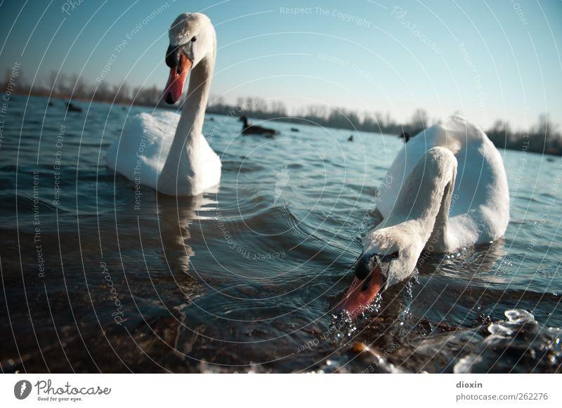 Fütterung der Raubtiere Umwelt Natur Wasser Himmel Wolkenloser Himmel Schönes Wetter Seeufer Tier Wildtier Vogel Schwan 2 Tierpaar Fressen Schwimmen & Baden