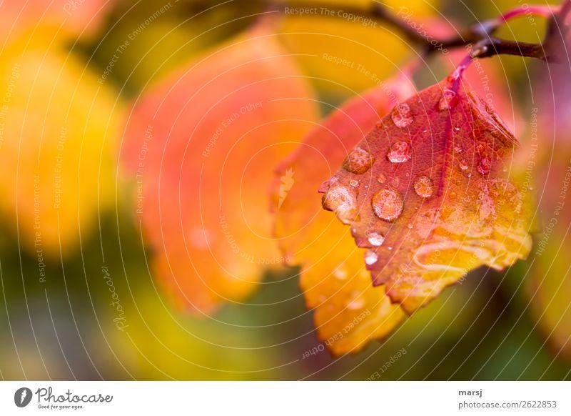 Regen kann doch so schön Leben Natur Wassertropfen Herbst schlechtes Wetter Blatt Herbstlaub leuchten außergewöhnlich Erfolg nass natürlich gelb orange rot