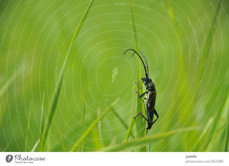 no risk no fun Natur Pflanze Gras Tier Wildtier 1 verrückt grün festhalten springen Fühler Käfer Insekt schillernd Bockkäfer Klettern Halm Frühling grasgrün