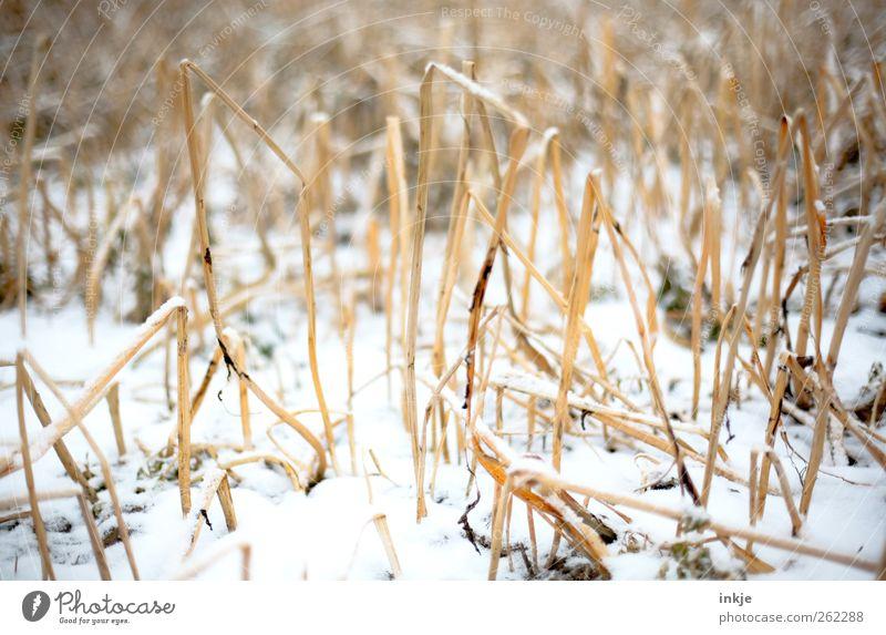 Schnee im Kornfeld Natur Winter Klima Eis Frost Wildpflanze Stroh Stoppelfeld Feld Menschenleer kalt trist trocken braun gelb weiß Gefühle Stimmung Wachstum