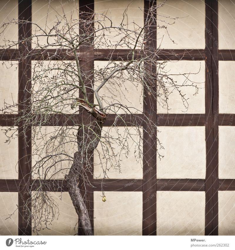 birne auf c1 Baum Pflanze Frucht Ast einzeln Quadrat vertrocknet kahl tragen Dürre Baumrinde Birne Fachwerkfassade