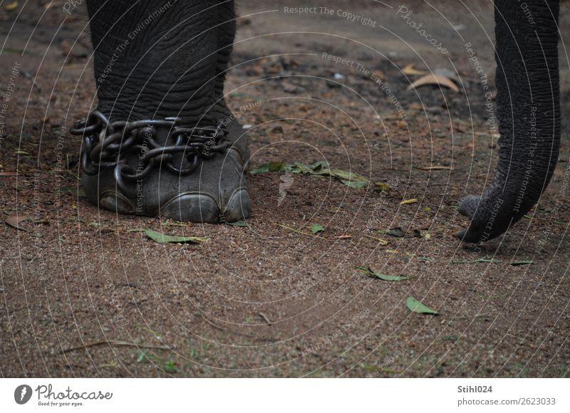 Fußkette Tier Nutztier Wildtier Elefant Elefantenhaut Rüssel 1 Kette Kettenglied Sicherungskette Metall hängen stehen bedrohlich groß stark wild grau Langeweile