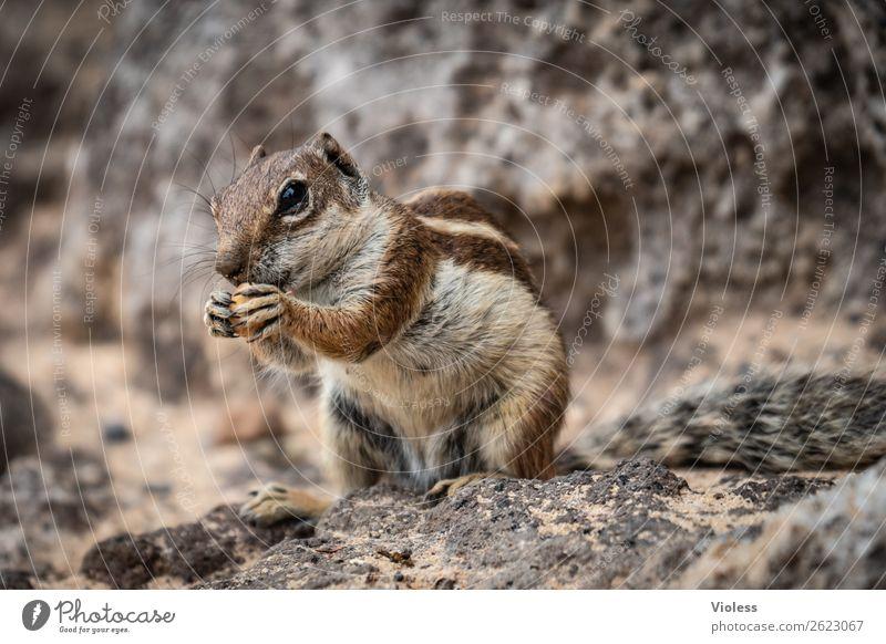 Atlashörnchen Streifenhörnchen Berberhörnchen Borstenhörnchen Atlantoxerus Fuerteventura Tier Wildtier Tiergesicht Fell Krallen Pfote Eichhörnchen niedlich