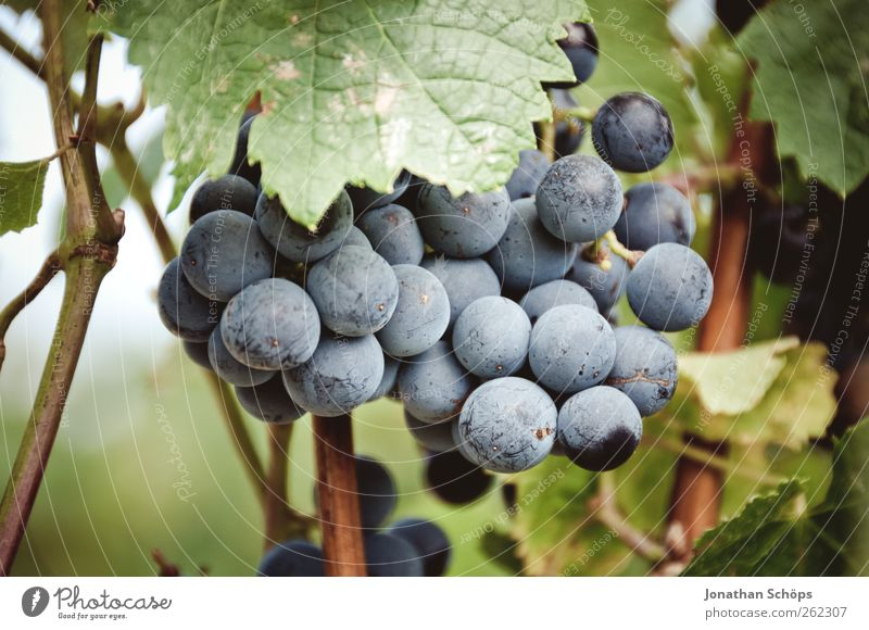 Der Weinberg II Tourismus Ausflug Sommer Umwelt Natur Klimawandel Pflanze Wahrheit Weintrauben Blatt Frucht Landwirtschaft Weinbau Weinblatt Ernte Ursprung