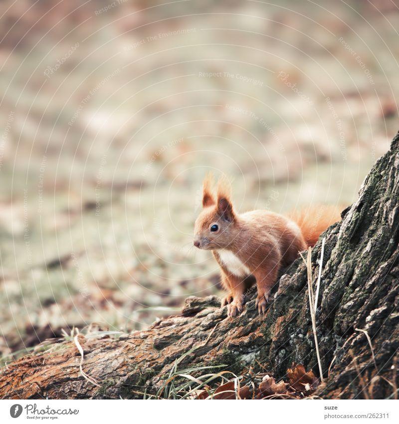 Neugierchen Umwelt Natur Landschaft Pflanze Tier Herbst Baum Gras Wiese Fell Wildtier 1 beobachten authentisch klein niedlich braun grau rot Vertrauen Tierliebe