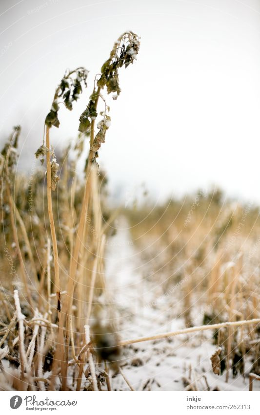 Ein Weg ins Kornfeld Himmel Natur weiß Pflanze Winter gelb Umwelt Landschaft kalt Schnee Gefühle Gras Stimmung Eis Feld Klima