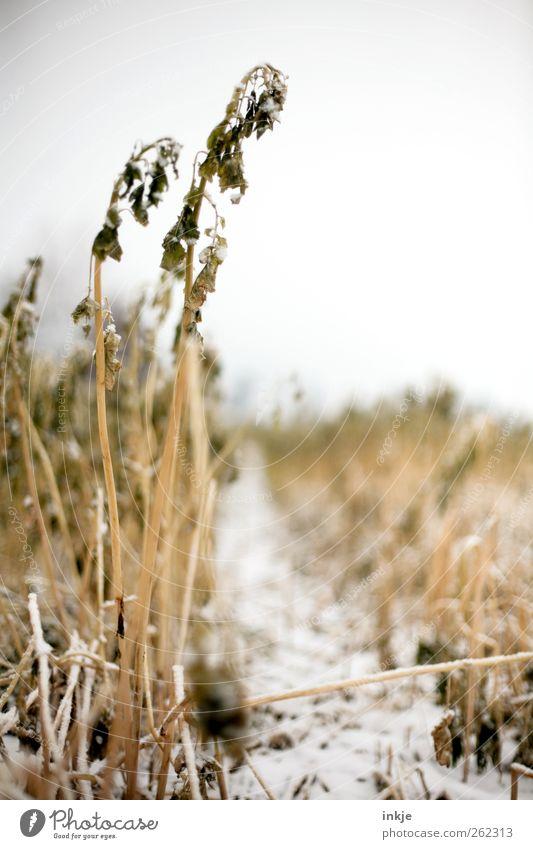 Ein Weg ins Kornfeld Umwelt Natur Landschaft Pflanze Himmel Winter Klima Eis Frost Schnee Gras Nutzpflanze Wildpflanze Stroh Feld Fußweg Menschenleer kalt gelb