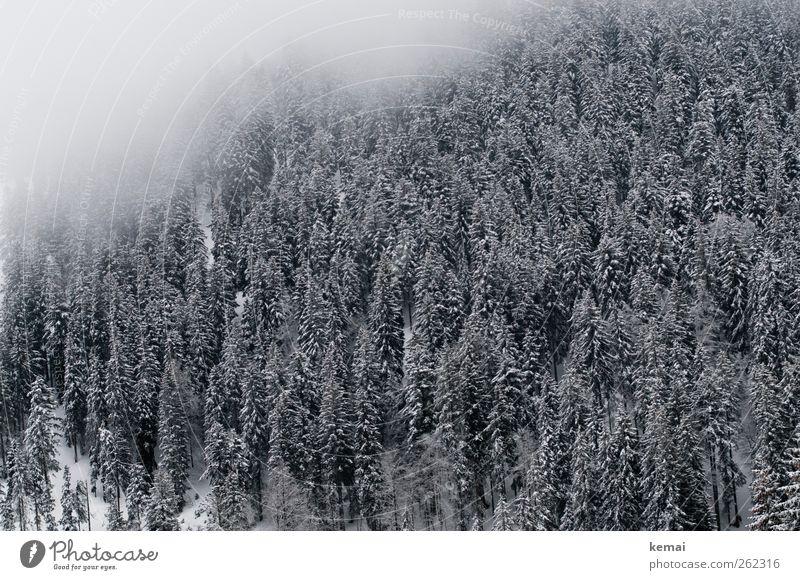 Eisiger Hauch Umwelt Natur Landschaft Pflanze Winter Klima schlechtes Wetter Nebel Frost Schnee Baum Grünpflanze Wildpflanze Tanne Fichte Fichtenwald Wald kalt