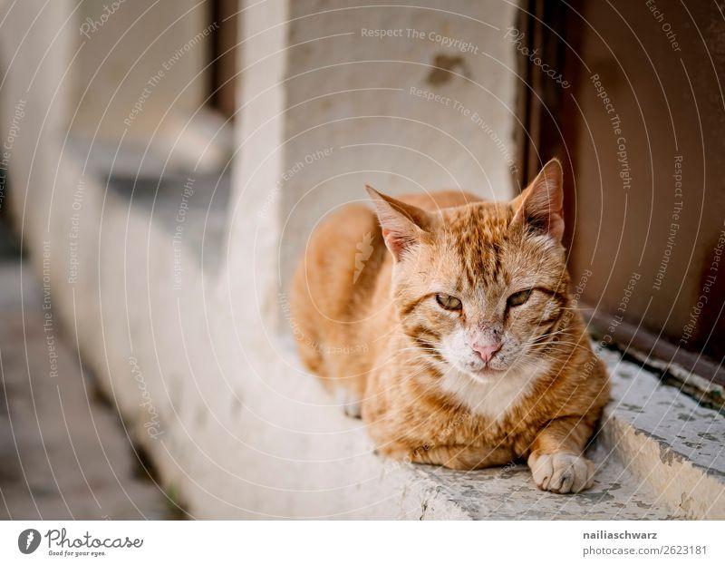 Katze Sommer Griechenland Kreta Mauer Wand Fassade Tier Haustier Tiergesicht 1 beobachten Erholung liegen frech listig Neugier niedlich weich orange rot achtsam