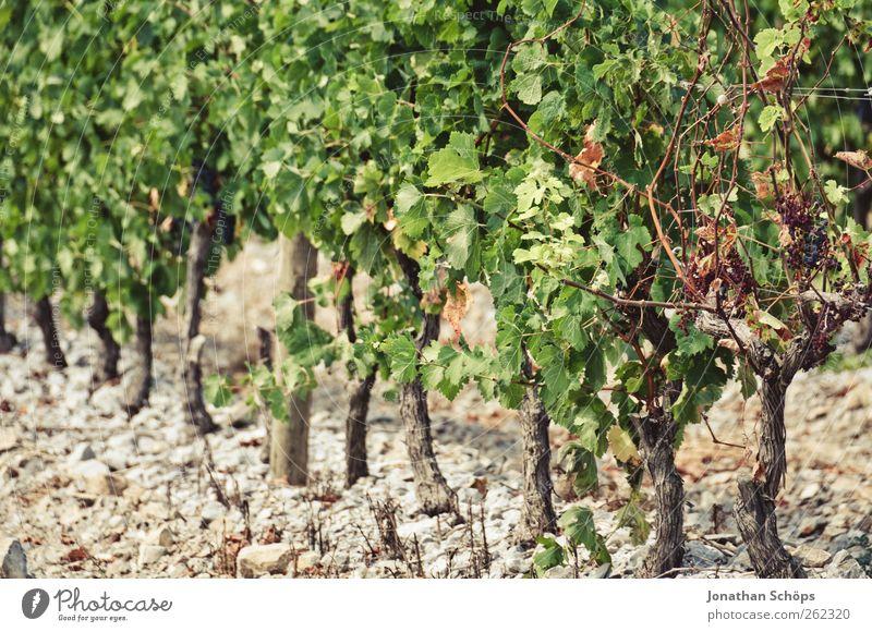 Der Weinberg III Sommer Umwelt Natur Pflanze Schönes Wetter Arbeit & Erwerbstätigkeit Weinlese Weintrauben Weinbau Landwirtschaft Reihe aufgereiht grün braun