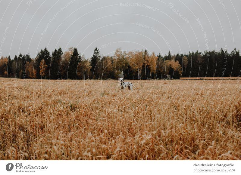 Hund Dalmatiner steht in Kornfeld Zentralperspektive Tag Farbfoto Treue Naturliebe Landwirtschaft Getreidefeld Idylle Erwartung Zufriedenheit Lebensfreude