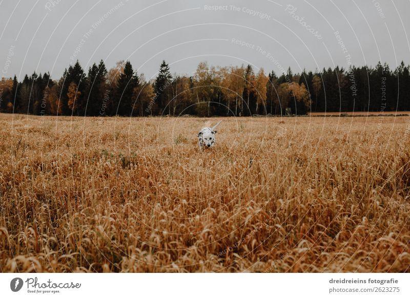 Hund Dalmatiner läuft durch Kornfeld Getreidefeld Farbfoto Treue suchen Lebensfreude Naturliebe laufen Idylle Erwartung Zufriedenheit Optimismus Landwirtschaft