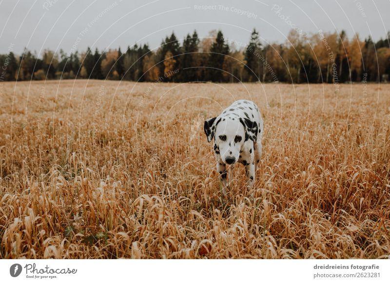 Hund Dalmatiner läuft durch Kornfeld Getreidefeld Farbfoto Treue schnuppern suchen Lebensfreude Naturliebe laufen Idylle Erwartung Zufriedenheit Optimismus