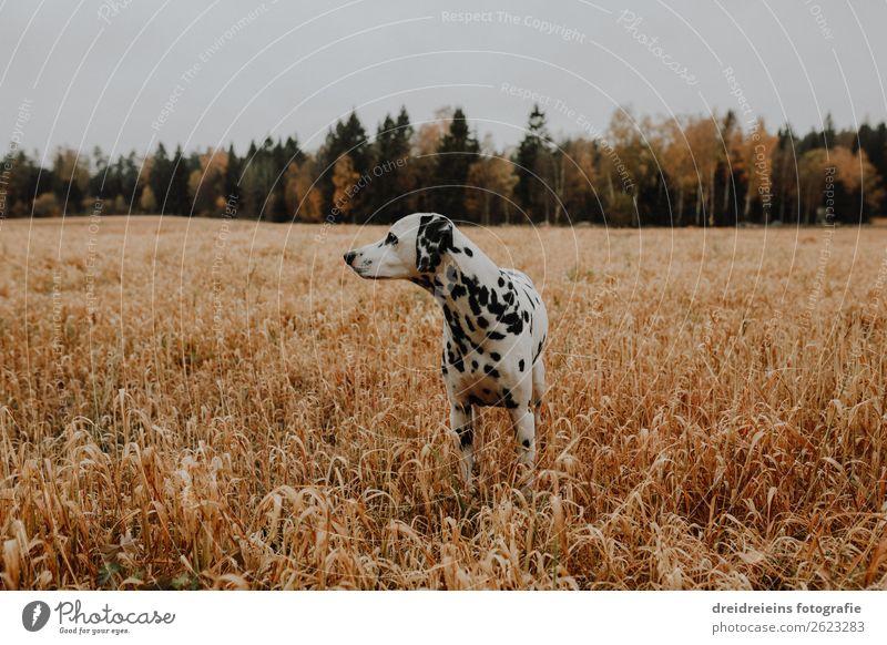 Hund Dalmatiner im Kornfeld Getreidefeld Feld Natur Landschaft Tier Ferne Umwelt ästhetisch stehen warten beobachten Neugier Haustier Wachsamkeit Interesse