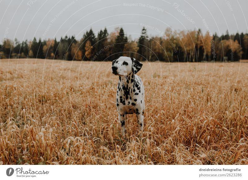 Dalmatiner Hund steht im Kornfeld Getreidefeld Umwelt Natur Landschaft Feld Tier Haustier beobachten stehen warten natürlich Zufriedenheit Lebensfreude