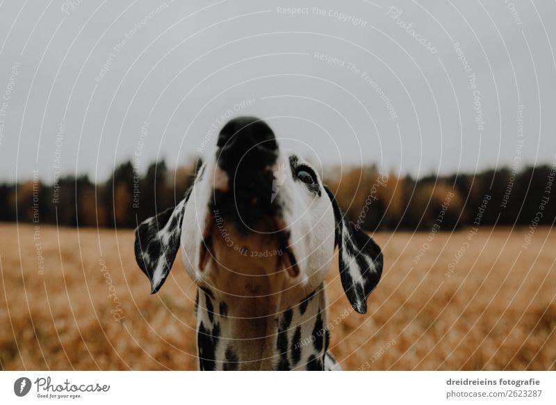 Hund Dalmatiner steht in Kornfeld Getreidefeld streckt den Kopf nach oben Farbfoto interessiert neugierig Treue schnuppern Lebensfreude Naturliebe Idylle