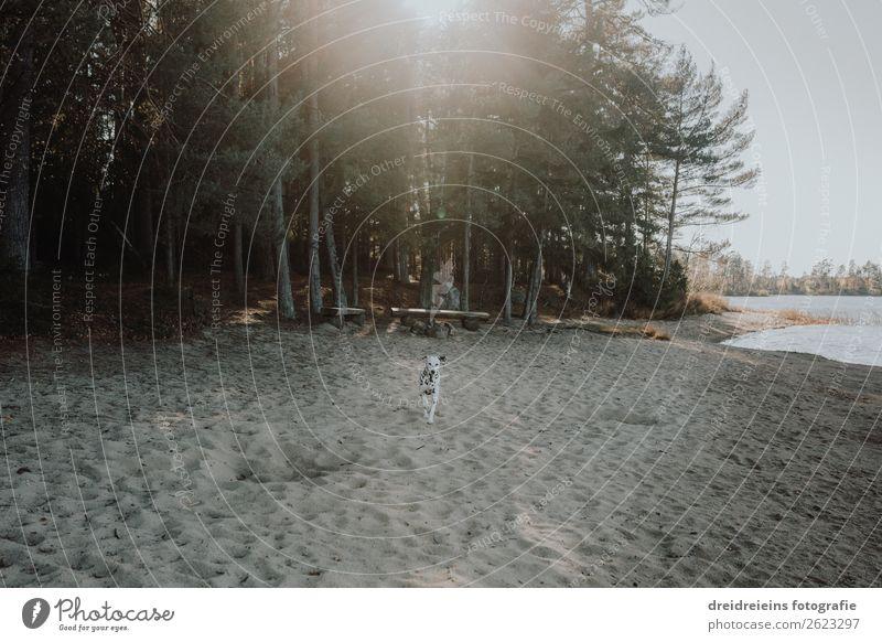 Hund Dalmatiner kommt gerannt am Strand Lebensfreude Naturliebe Seeufer Optimismus Badestrand Waldlichtung Tag Farbfoto Treue rennen Idylle Erwartung
