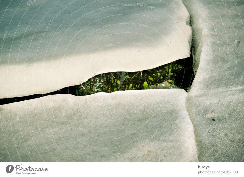 Wo ein Wille ist... Natur weiß grün Pflanze Winter kalt Frühling Eis Kraft glänzend natürlich Beginn außergewöhnlich ästhetisch Wandel & Veränderung Frost