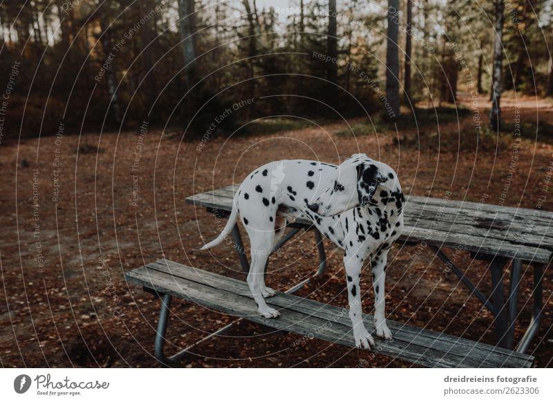 Dalmatiner Wald Bank warten Hund schuen gucken Parkbank Natur natürlich Haustür Hundespaziergang Waldspaziergang Textfreiraum oben Außenaufnahme