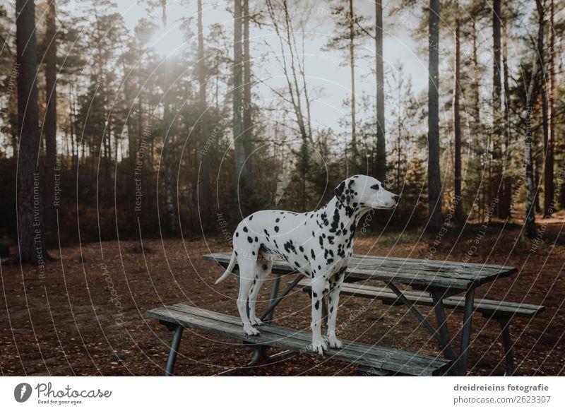 Dalmatiner Hund steht im Wald auf einer Parkbank Gegenlicht Umwelt Natur Sonnenaufgang Sonnenuntergang Sonnenlicht Frühling Sommer Herbst Schönes Wetter Tier