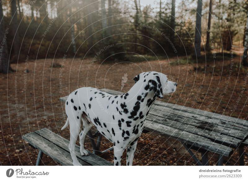 Dalmatiner Wald Bank warten Hund schuen gucken Parkbank Natur natürlich Haustür Hundespaziergang Waldspaziergang