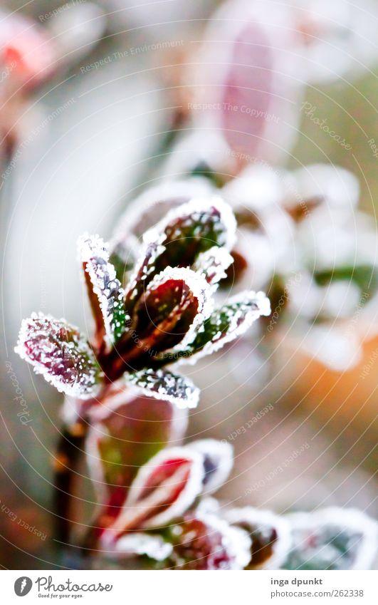 Winterbluete Natur grün schön rot Pflanze Blatt Farbe Umwelt kalt Garten Park Eis Hoffnung Frost Sträucher