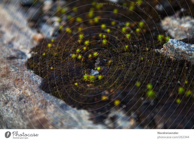 Weiche Schale, harter Kern Natur Pflanze Moos Felsen Stein Wachstum braun grün sternmoos Makroaufnahme Farbfoto Außenaufnahme Menschenleer Textfreiraum links