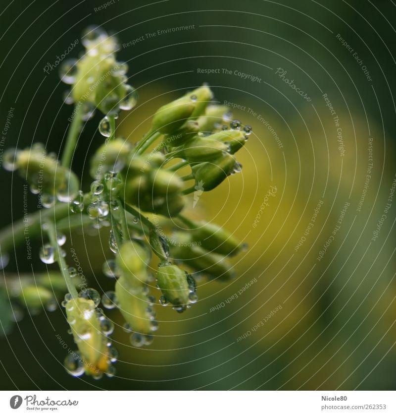 Regentropfen auf Raps Natur grün Pflanze Regen nass frisch Wassertropfen zart Tau Blütenknospen Raps Rapsfeld