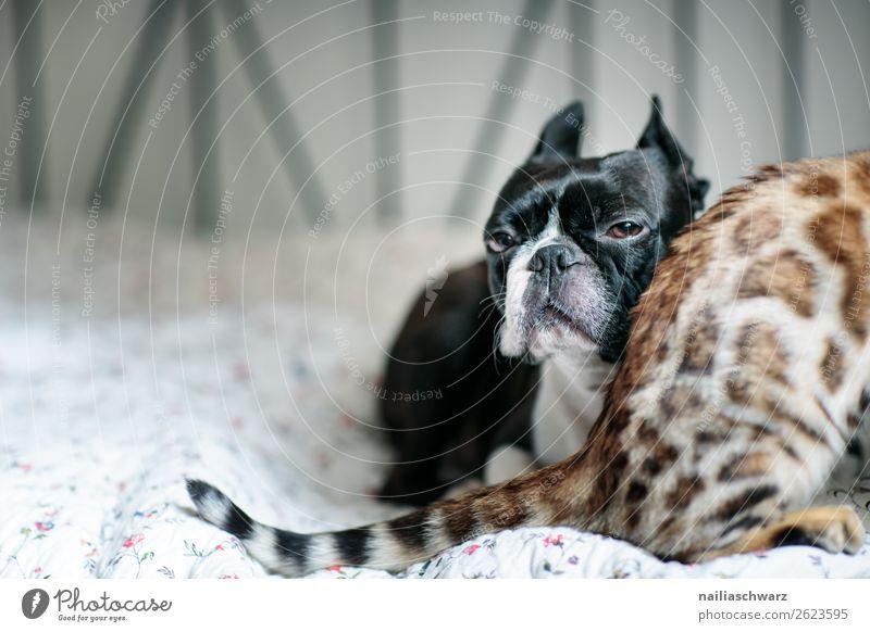 Cat & Dog Tier Haustier Hund Katze Tiergesicht Boston Terrier bengal Katze 2 Decke Bett beobachten Erholung liegen Blick Traurigkeit warten frech lustig Neugier