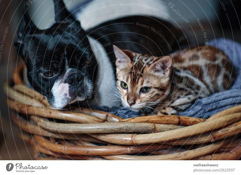 Cat&Dog Tier Haustier Hund Katze Boston Terrier Bengalkatze 2 Korb Holz beobachten Erholung Blick schlafen warten frech Fröhlichkeit kuschlig Neugier niedlich