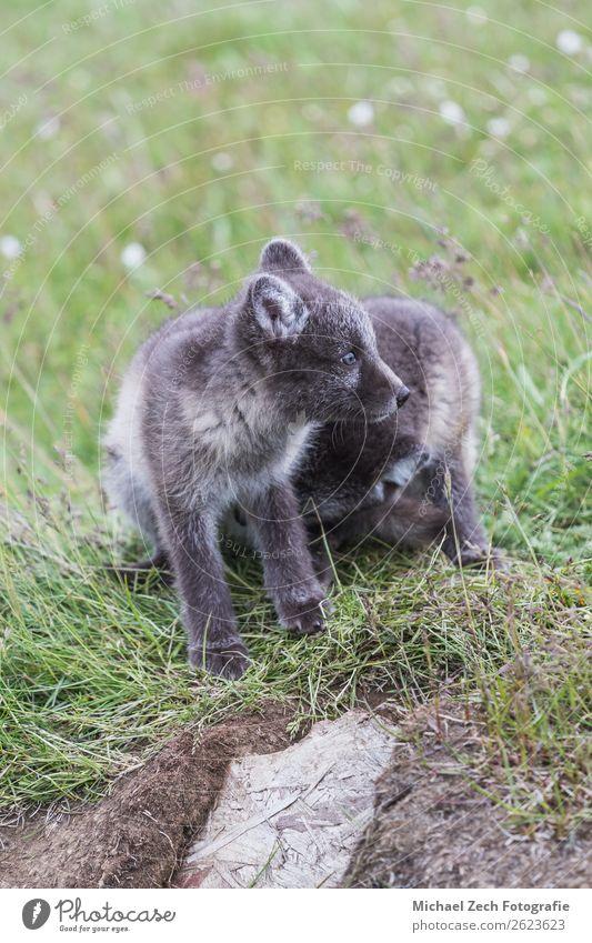 zwei junge, verspielte arktische Fuchswelpen vor ihrem Versteck. schön Sommer Baby Natur Tier Gras Wiese Pelzmantel Tierjunges klein niedlich wild blau braun