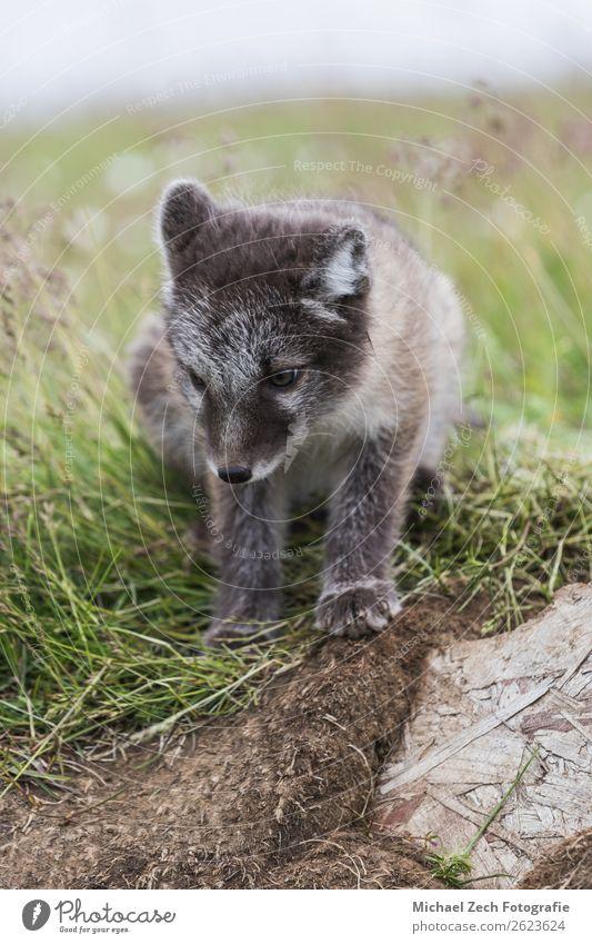 Nahaufnahme eines jungen, verspielten Polarfuchsjungen im Sommer auf Island. schön Baby Natur Tier Gras Wiese Pelzmantel Tierjunges klein niedlich wild blau