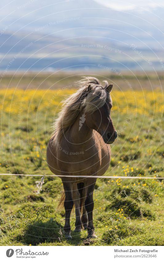 Islandpferd auf der grünen Wiese im Sommer Island schön Berge u. Gebirge Menschengruppe Natur Landschaft Tier Gras Hügel Gletscher Pferd Herde natürlich braun