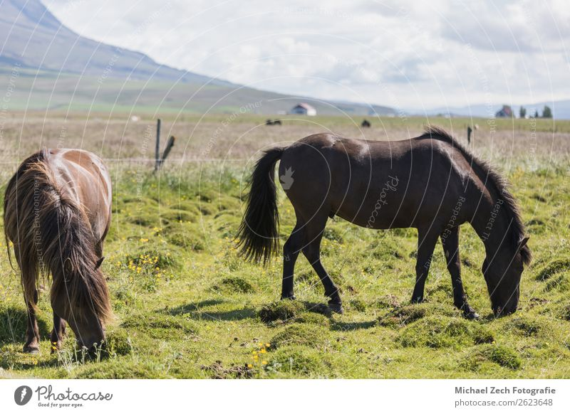 Islandpferde auf der grünen Wiese im Sommer Island schön Berge u. Gebirge Menschengruppe Natur Landschaft Tier Gras Hügel Gletscher Pferd Herde natürlich braun