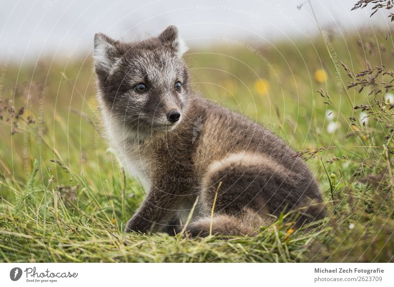 Nahaufnahme eines jungen verspielten Polarfuchsjungen im Sommer schön Baby Natur Tier Gras Wiese Pelzmantel Tierjunges klein niedlich wild blau braun grün weiß