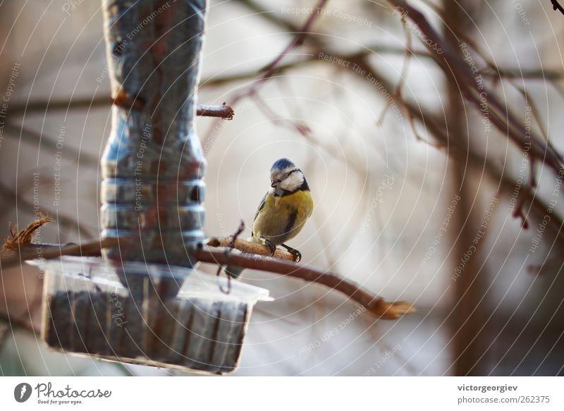 blau schön Baum Tier Winter Wald gelb Herbst klein Vogel wild Wildtier sitzen Schutz füttern Überleben