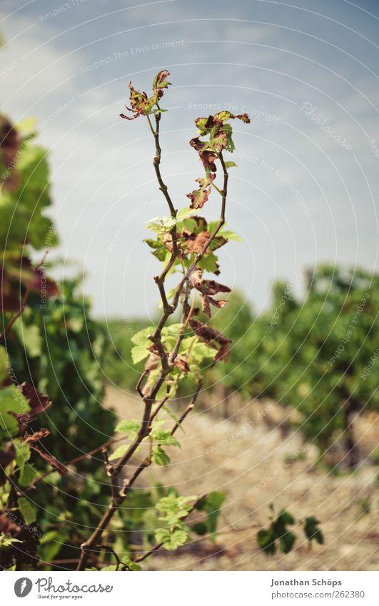 Der Weinberg IV Sommer Umwelt Natur Pflanze Sträucher Blatt Nutzpflanze Wachstum Weinlese Weinbau Landwirtschaft Südfrankreich Kulturlandschaft vertikal