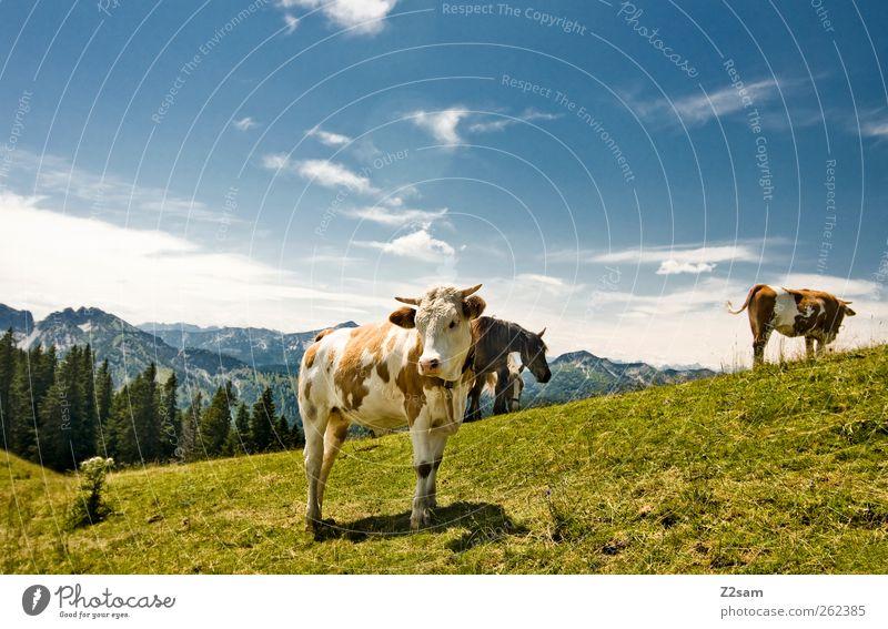Was is´n? Berge u. Gebirge Umwelt Natur Landschaft Himmel Wolken Sommer Wiese Alpen Gipfel Kuh 3 Tier Blick stehen ästhetisch natürlich Bayern Farbfoto