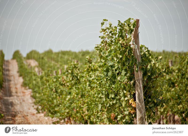 Der Weinberg V Erholung ruhig Ferne Sommer Sommerurlaub Umwelt Natur Landschaft Pflanze Schönes Wetter Blatt Nutzpflanze anbauen Ernte Weinlese Weinbau