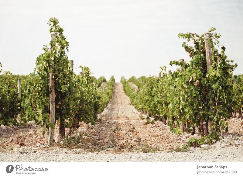 Der Weinberg VI Natur Pflanze Sommer Erholung Umwelt Landschaft Wärme Wege & Pfade Ordnung Wachstum Wein Schönes Wetter Mitte Landwirtschaft genießen Reihe